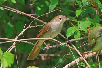 Nightingale (common)