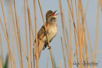 Warbler, great reed