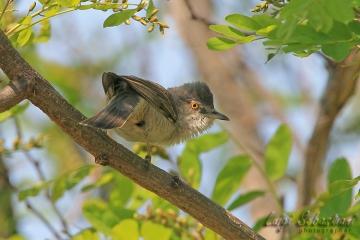 Curruca gavilana