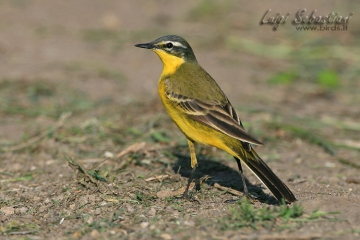 Wagtail, blue-headed