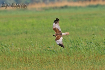 Harrier, marsh