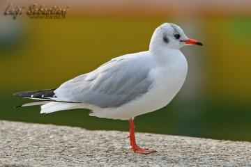 Gull, black-headed