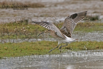 Curlew (eurasian)