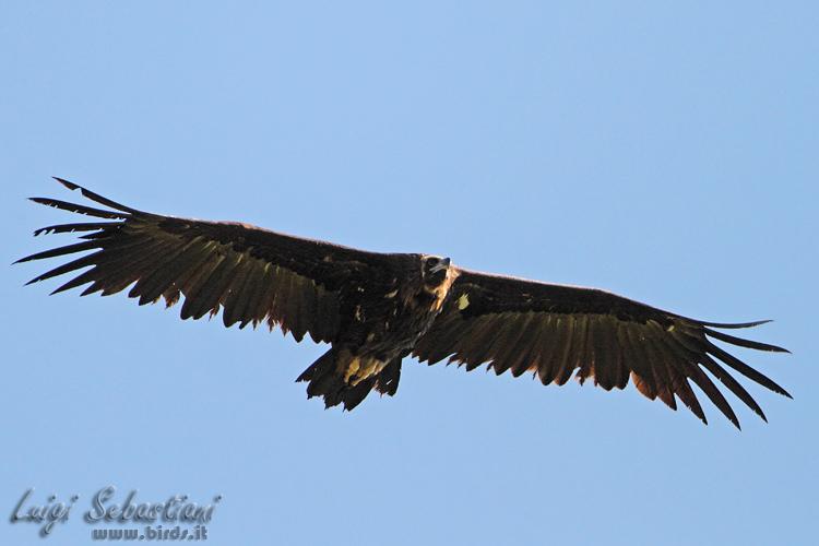 vulture, black (eurasian)