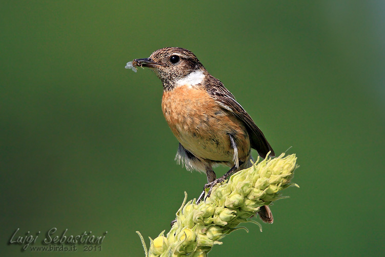 Stonechat (common)