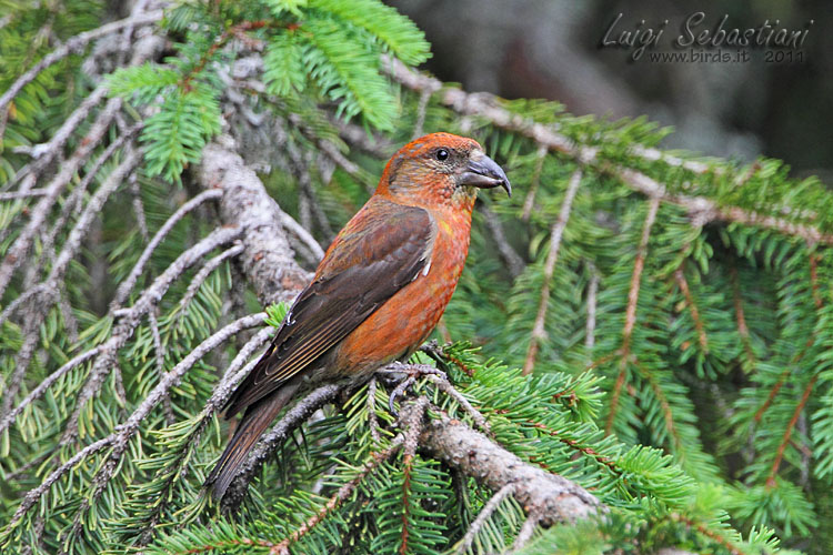 Crossbill (common)