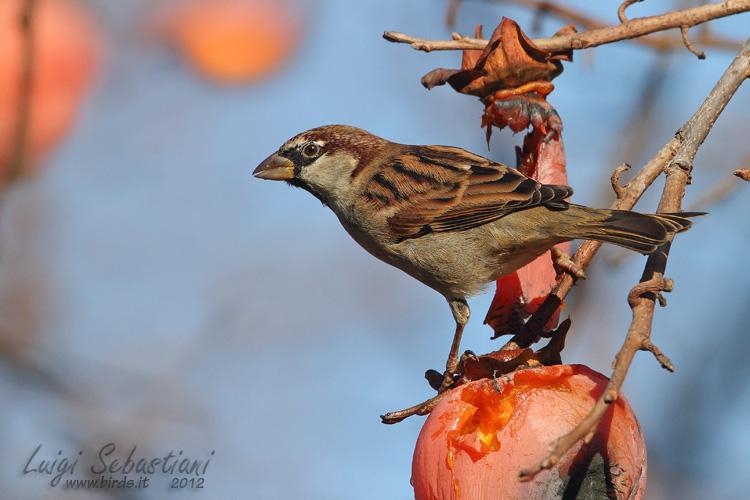Sparrow, italian