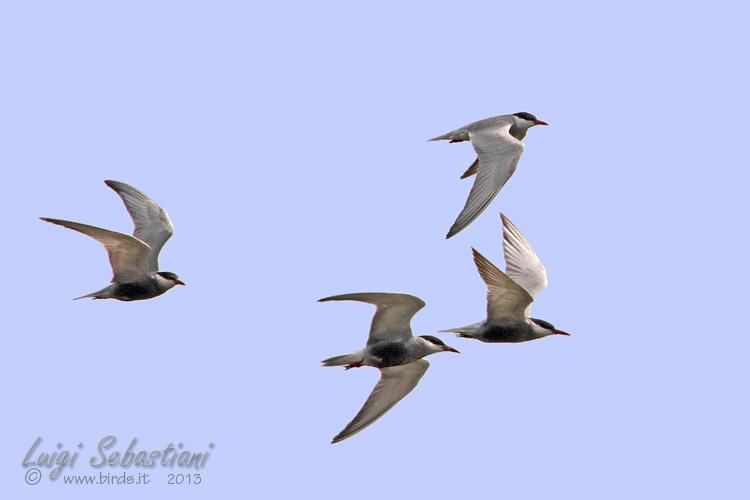 Tern, whiskered