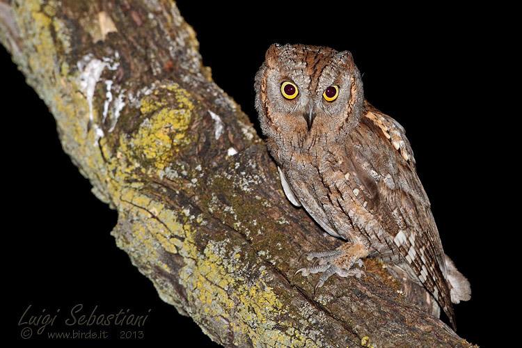 Owl, (eurasian) scops