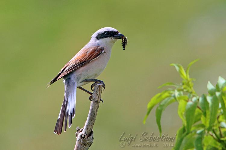 Shrike, red-backed