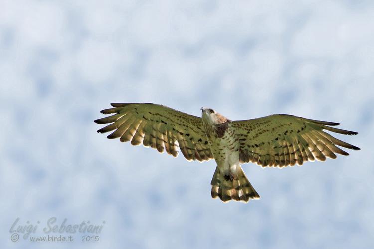 Eagle, short-toed