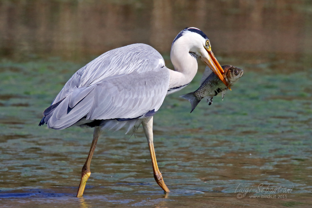 Heron, grey