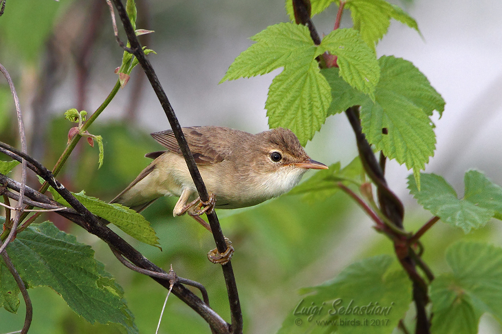 Warbler, marsh