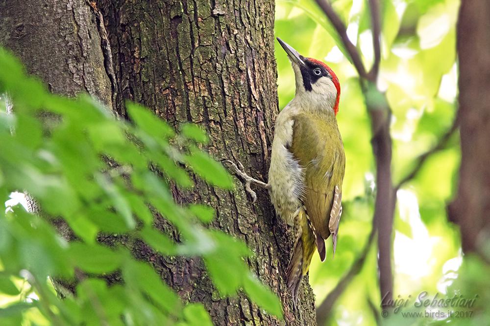 Woodpecker, green