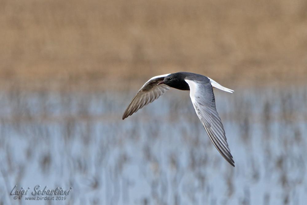 Weißflügel-seeschwalbe