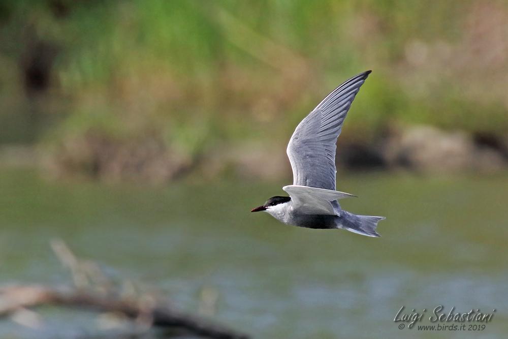 Weißbart-seeschwalbe