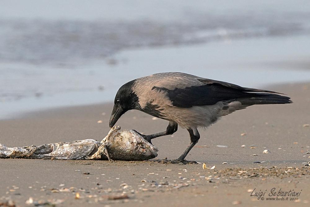 Crow, hooded