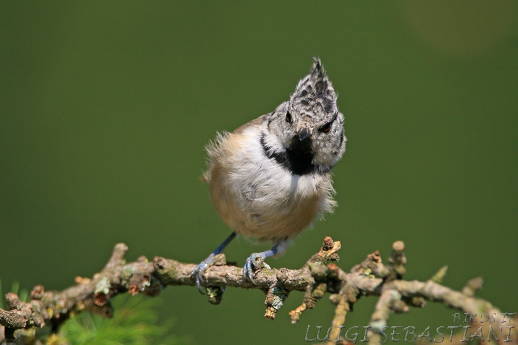 Tit, crested