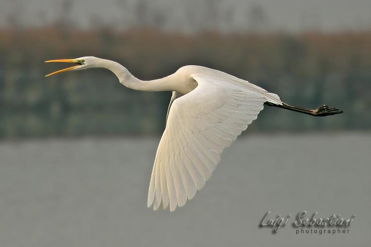 Egret, great white