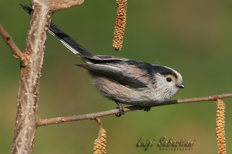 Tit, long-tailed