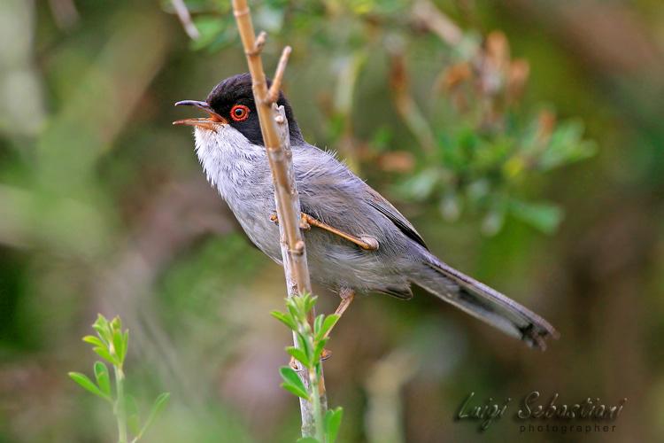 Warbler, sardinian