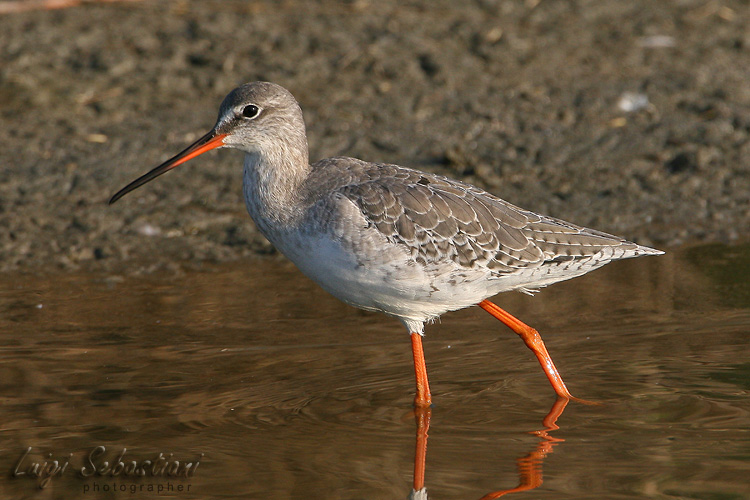 Redshank, spotted
