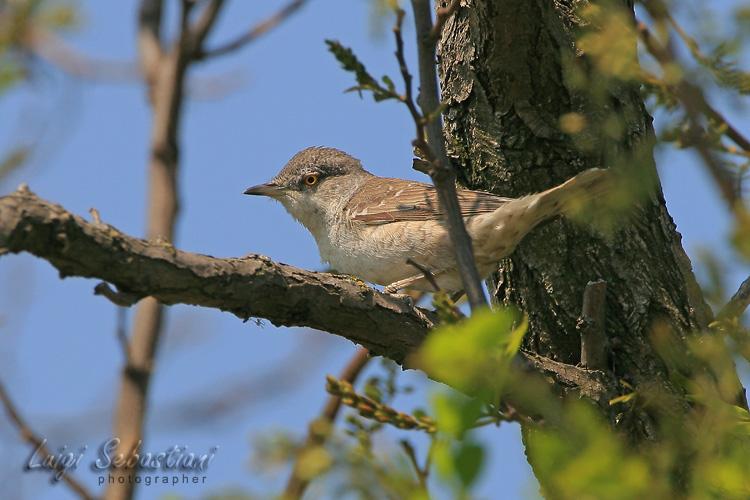 Warbler, barred