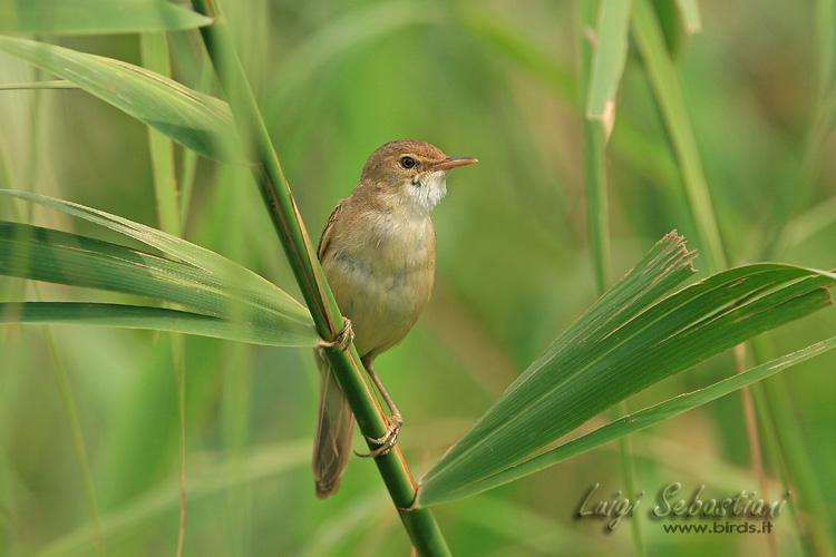 Warbler, (european) reed
