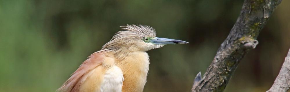 Heron, squacco